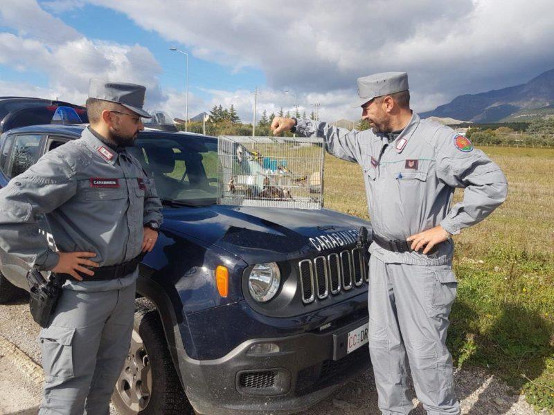 Detenevano illegalmente cardellini, una denuncia a Castrovillari