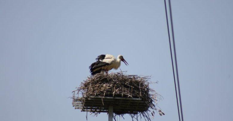 La cicogna bianca nidifica per la prima volta nella Valle dell'Esaro