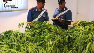 "Photo of Scoperta piantagione di ""marijuana"" a San Martino di Finita, due arresti"