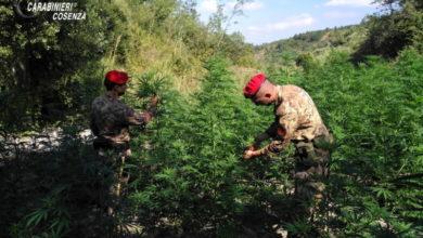 Photo of Orsomarso, scoperta coltivazione di marijuana: arrestate due persone