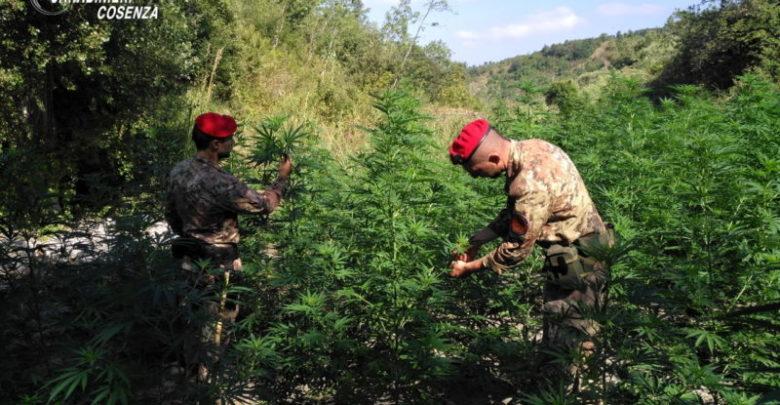 Orsomarso scoperta coltivazione marijuana arrestate due persone