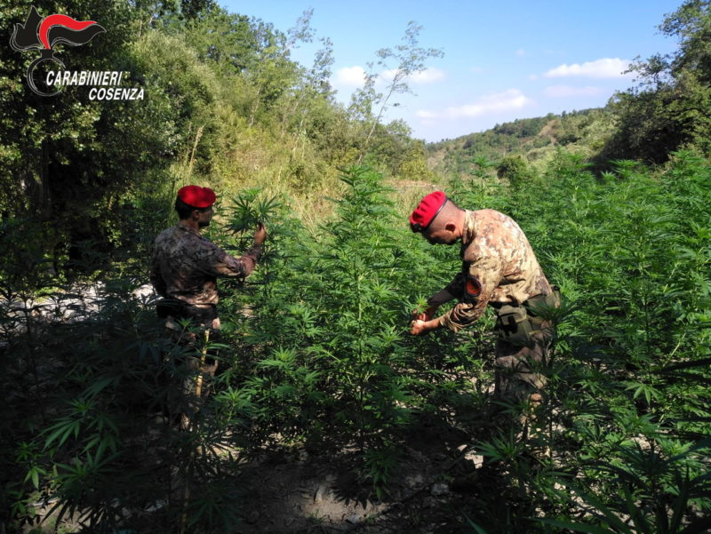 Orsomarso, scoperta coltivazione di marijuana: arrestate due persone