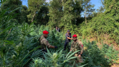 Photo of Cetraro, 780 piante di marijuana scoperte dai carabinieri: due arresti
