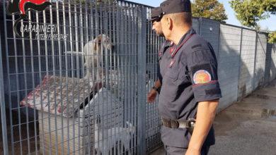 Photo of Canile di Corigliano Rossano sequestrato dai carabinieri forestale: nove indagati
