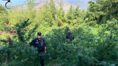 Photo of Sangineto, i carabinieri scoprono piantagione di marijuana