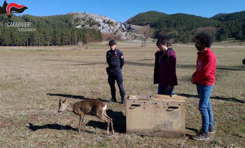 Photo of Parco del Pollino, capriolo investito e subito soccorso