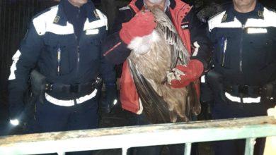 Photo of La Polizia Provinciale recupera un maestoso avvoltoio Grifone a Cirella