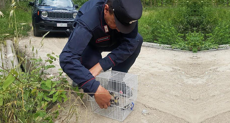 I carabinieri sequestrano dei cardellini