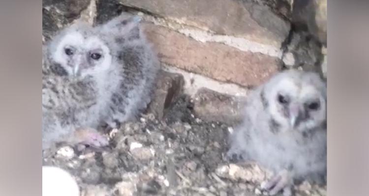 I piccoli gufi difesi dalla madre e le tre uova ancora chiuse
