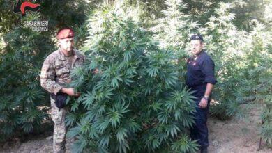 Photo of Casali del Manco, scoperte due coltivazioni di sostanze stupefacenti
