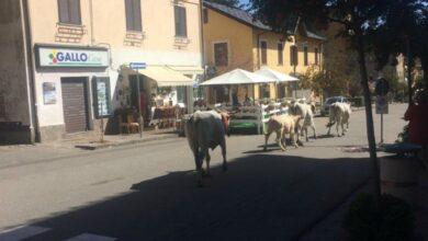 Photo of Quattro mucche a passeggio nel cuore di Camigliatello Silano